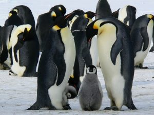 pinguinos-300×225